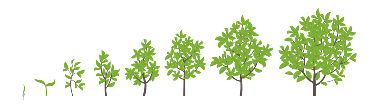 Tree growth stages. Vector illustration. Ripening period progression. Tree life cycle animation plant seedling phases.