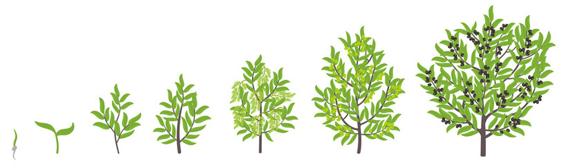 Olive tree growth stages. Vector illustration. Ripening period progression. Olive black tree life cycle animation plant seedling. European olive phases.