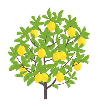 Lemon tree. Vector illustration. Fruit tree plant. Flat vector color Illustration clipart. Ripe on Lemon tree. Citrus limon.