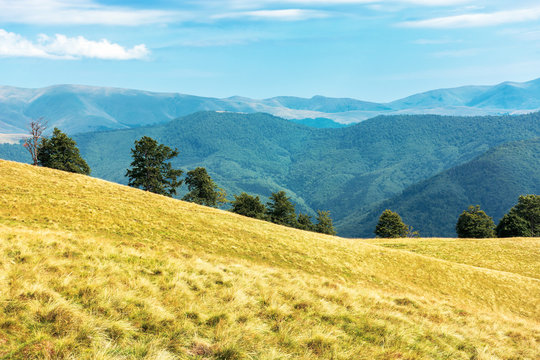 wonderful mountain landscape in late summer. alpine meadow with weathered grass. beech forest at the edge of a hill. sunny afternoon weather with fluffy clouds on the sky