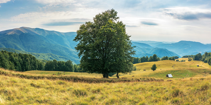 wonderful mountain landscape in late summer. alpine meadow with weathered grass. beech forest at the edge of a hill. huge tree in the middle. cow herd in the distance. beautiful carpathian countryside