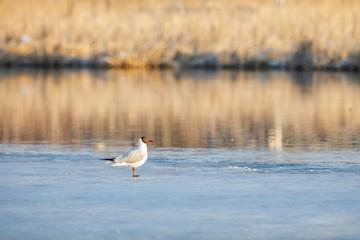 Tern stands in sunlight on half frozen pond