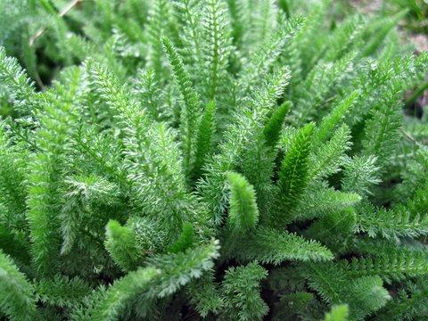 Green grass achillea millefolium