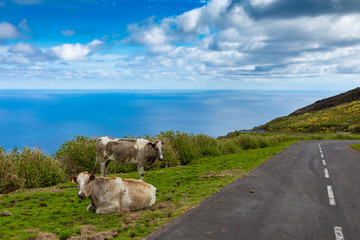 Hill of farm fields and cows in the Corvo island in Azores, Portugal.