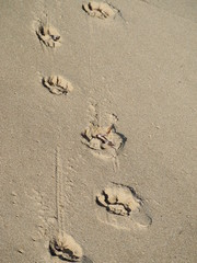 Footprints of a dog in the sand.