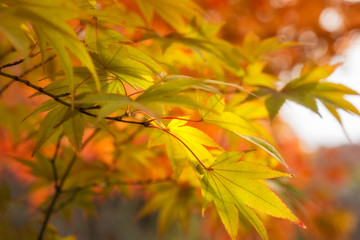 Golden Maple Leaves on a blurred autumn foliage background at Koko-en Garden in Himeji, Japan.