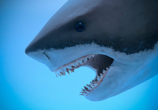 A Portrait of the Jaws of a Great White Shark