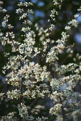 Amelanchier at Spring