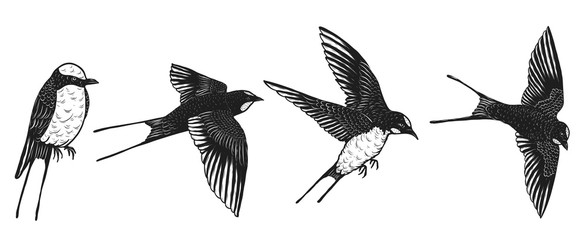 swallows vector by hand drawing.Beautiful bird on white background.Black and white graphics design art highly detailed in line art style.