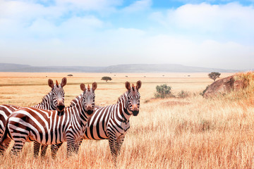 Aluminium Prints Zebra Group of wild zebras in the African savanna against the beautiful blue sky with clouds. Wildlife of Africa. Tanzania. Serengeti national park.