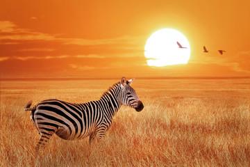 Fototapeta African lonely zebra at sunset in the Serengeti National Park. Tanzania. Wild nature of Africa.