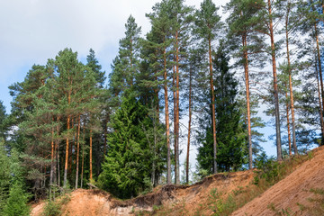 Large and beautiful pines grow on the sandy shores of the Polomet River, Novgorod Region, Russia
