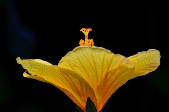 yellow hibiscus (Hibiscus brackenridgei)