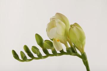 Freesia  flower. Plant of the iris family.