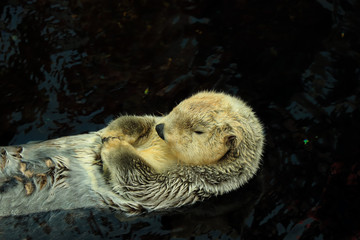Wild Sea otter floating in the water