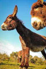 Two Donkeys close up