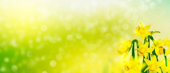 Foto op Aluminium Zwavel geel Spring flowers of daffodils.