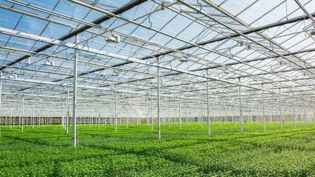 Huge greenhouse filled with newly planted chrysanthemums and santinis