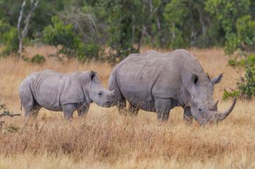 Ceratotherium Simum rhino mother calf pair oxpecker in ear Kenya East Africa