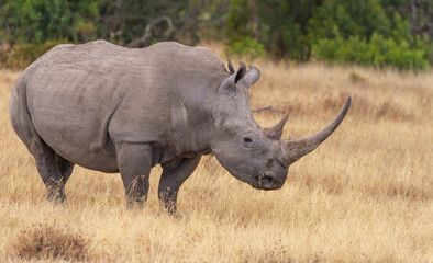 Poster de jardin Rhino Profile large white rhino grazing dry grassland oxpecker on head Kenya