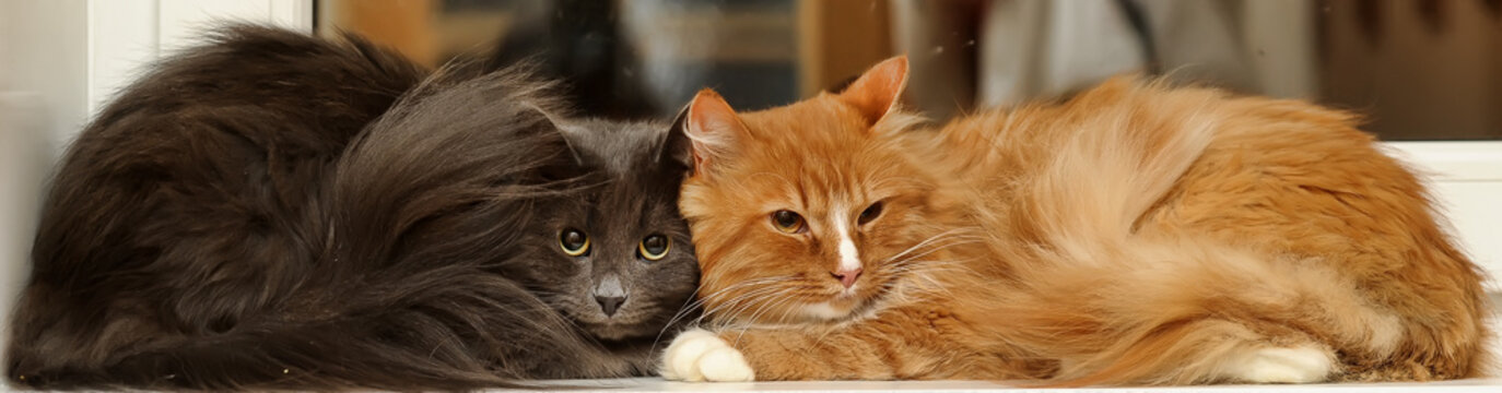 two fluffy cats together