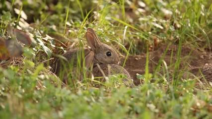 4801dae58db 0:59 Jeune lapin à l'entrée de leur terrier