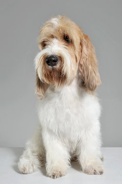 Studio shot of an adorable Grand Basset Griffon Vendéen sitting on grey background.