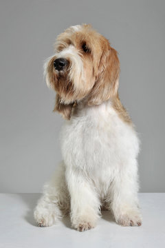 Studio shot of an adorable Grand Basset Griffon Vendéen looking curiously