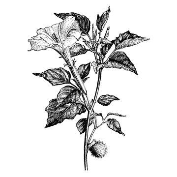 Engraving Flowering Branch of Datura Meteloides Vintage Illustrations