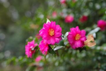 Tuinposter Azalea Red flowers in the garden : Sasanqua (Camellia sasanqua)