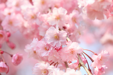 In de dag Kersenbloesem Cherry blossoms in full bloom in Yamanashi - Japan spring -