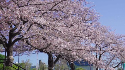 Wall Mural - cherry blossom tree and flurry of falling cherry blossoms in spring at Tokyo in Japan.