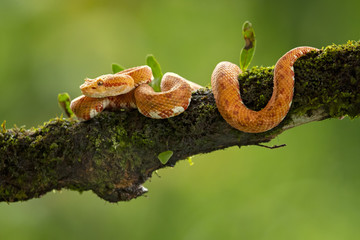 Bothriechis schlegelii, the eyelash viper, is a venomous pit viper species found in Central and South America