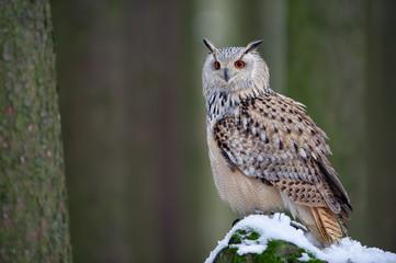 Wall Mural - Western siberian eagle owl sitting on snowy rock