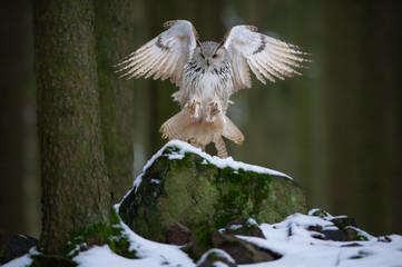 Fototapete - Landing western siberian eagle owl on snowy rock