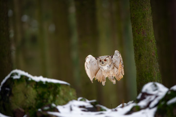Fototapete - Flying western siberian eagle owl in the forest from the front
