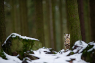 Fototapete - Western siberian eagle owl hidden behind tree trunk