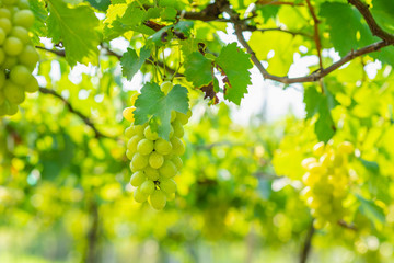 bunch of white grapes growing in vineyard