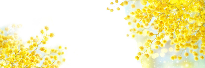 spring composition with Mimosa flowers. Mimosa on white background, concept of spring season....