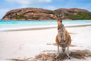 Deurstickers Kangoeroe Kangaroo family in Lucky bay