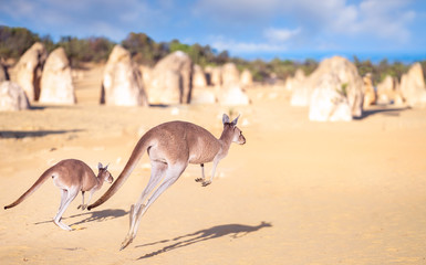 Wall Mural - Kanggaroo family jump in Pinnacles rock park in Nambung desert