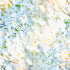 White spring blossom background with fresh green leaves and sunshine. Crowns flowering trees, bottom view. Springtime nature, outdoor