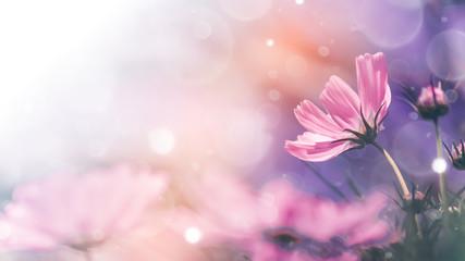 Foto auf Acrylglas Kosmos Cosmos flowers and light bokeh in vintage tone background.