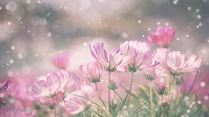 Wall Mural - Pink cosmos flower with blurred waterdrop spraying.