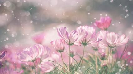 Fototapete - Pink cosmos flower with blurred waterdrop spraying.