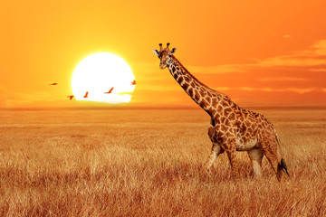 Wall Mural - Lonely giraffe at sunset in the Serengeti National Park. Tanzania. Wild nature of Africa. African artistic landscape.