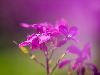 Dreamy purple honesty flowers, Lunaria annua, defocussed blurry romantic effect. Nature in spring abstract background.