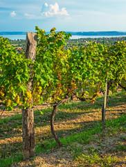 Nice vineyard in summer