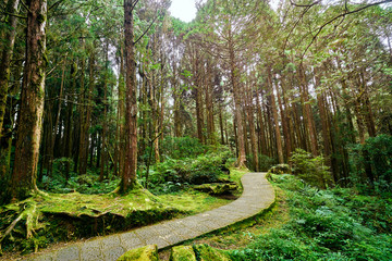 Beautiful green scenery of Giant tree in Alishan forest at Taiwan.