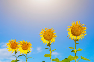 Yellow sunflowers with blue sky in sunny day. Summer and travel concept.